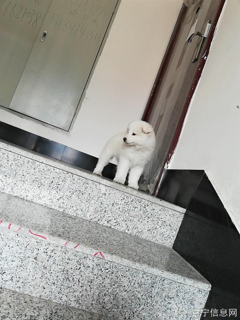 转让萨摩耶两个月母狗 ¥900元
