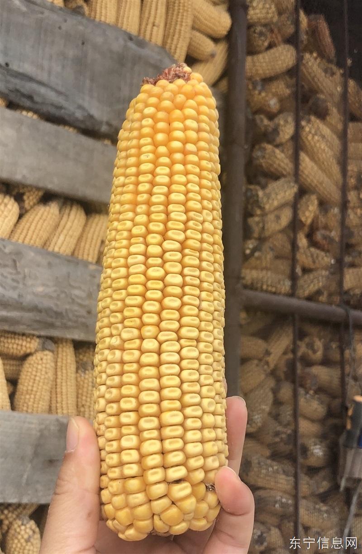 大量出售优质玉米(苞米)